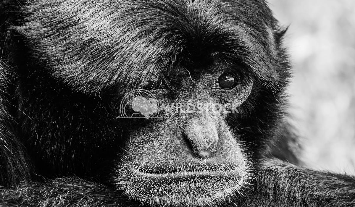 Siamang Black-Furred Gibbon Portrait Radu Bercan Siamang Black-Furred Gibbon Portrait