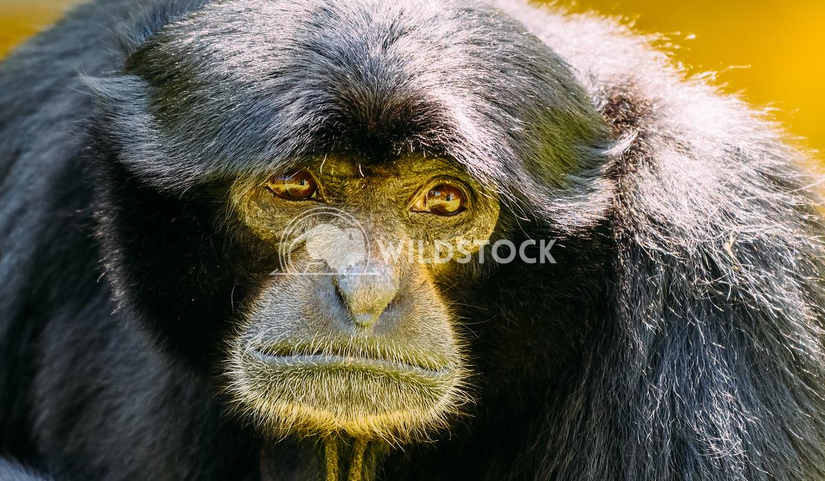 Siamang Black-Furred Gibbon Radu Bercan Siamang Black-Furred Gibbon Portrait