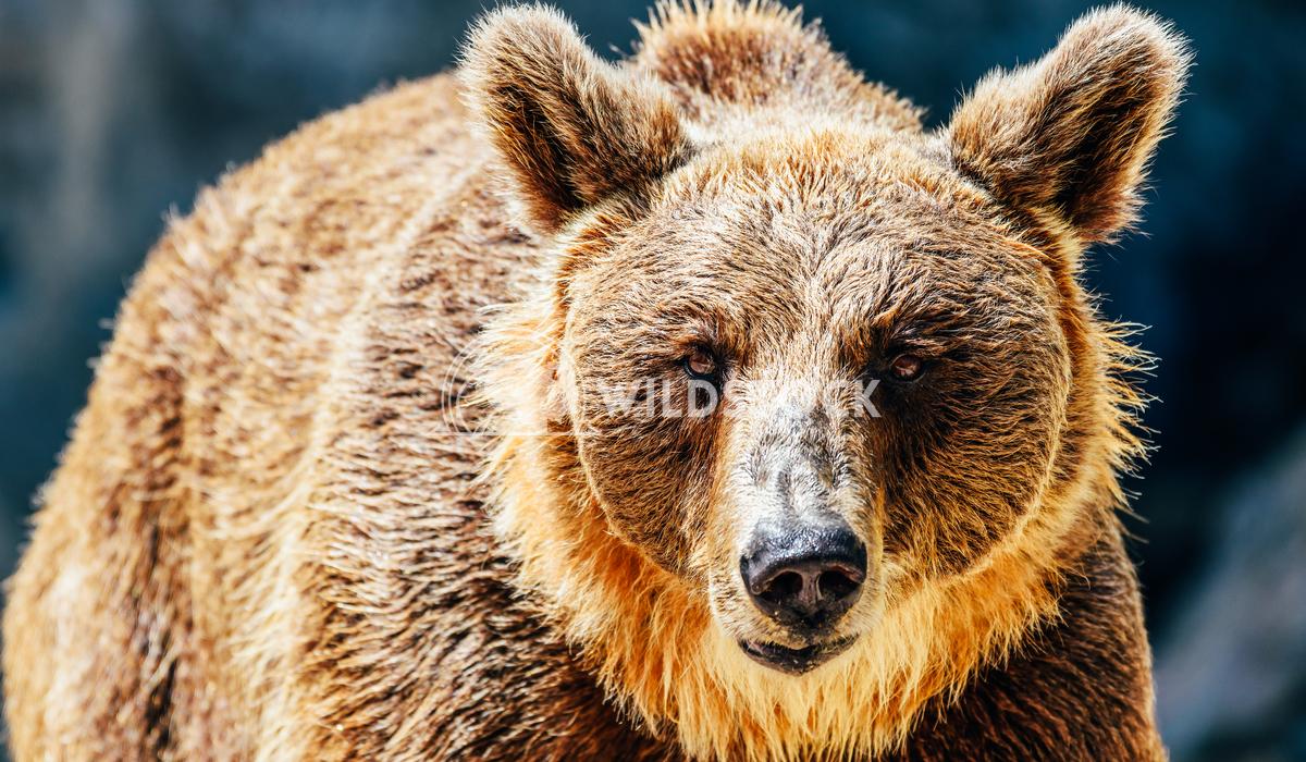 Brown Bear (Ursus Arctos) Portrait Radu Bercan Brown Bear (Ursus Arctos) Portrait