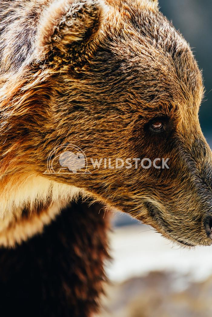 Brown Bear (Ursus Arctos) Radu Bercan Brown Bear (Ursus Arctos) Portrait