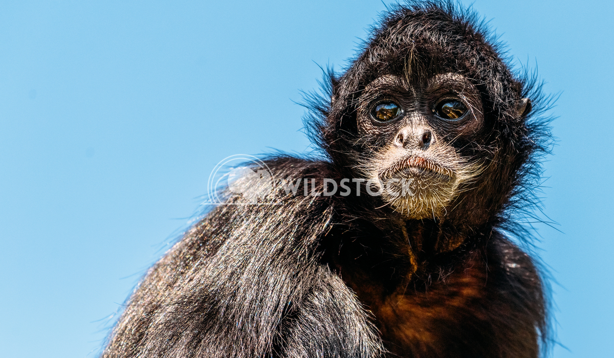 Black-Headed Spider Monkey (Ateles Fusciceps) Radu Bercan Black-Headed Spider Monkey (Ateles Fusciceps)