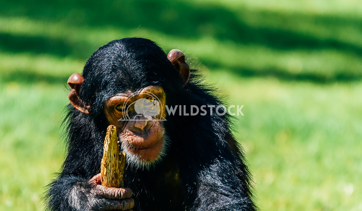 Portrait Of A Cute Baby Chimpanzee Radu Bercan Portrait Of A Cute Baby Chimpanzee