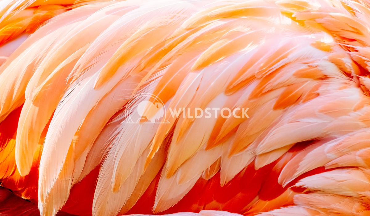 Pink Flamingo Feathers Details Radu Bercan Pink Flamingo Feathers Closeup Details