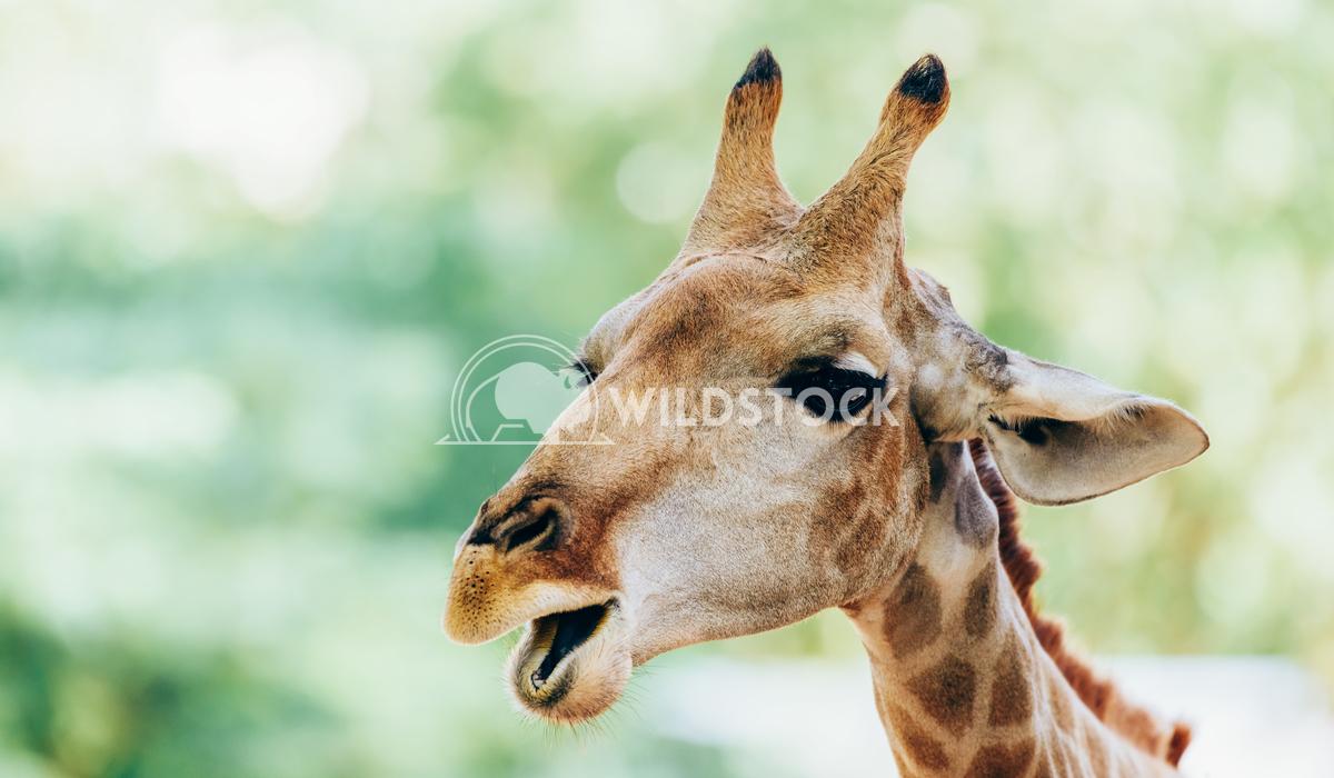 Wild African Giraffe Portrait Radu Bercan Wild African Giraffe Portrait