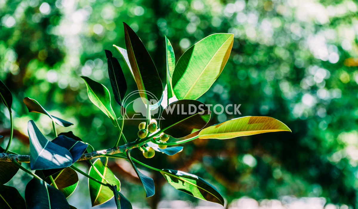 Green Ficus Platypoda Tree Leaves Radu Bercan Green Ficus Platypoda Tree Leaves