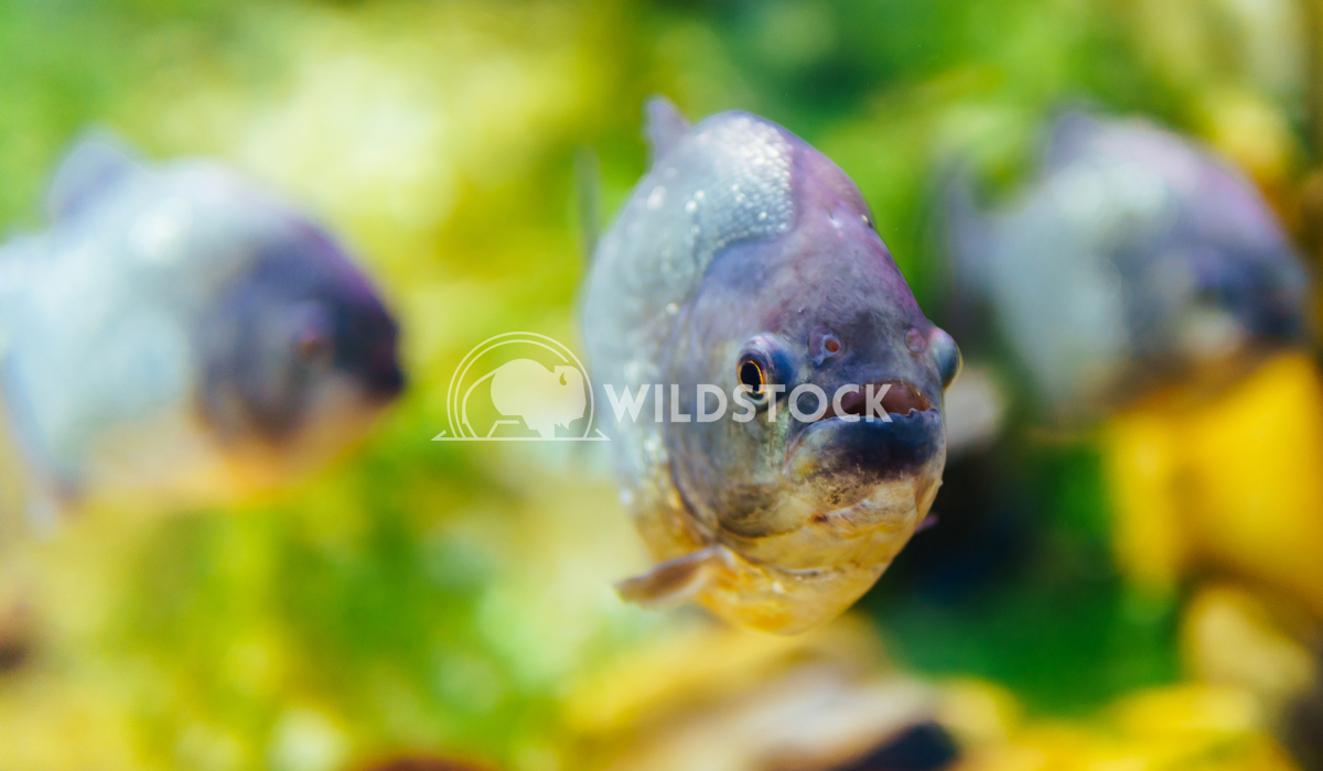 Closeup Of Piranha Fish Radu Bercan Underwater Closeup Of Piranha Fish
