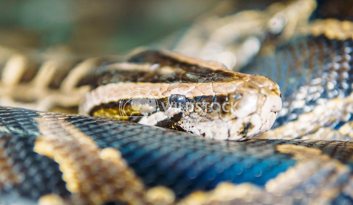 Snake Head Closeup Radu Bercan Snake Head Closeup
