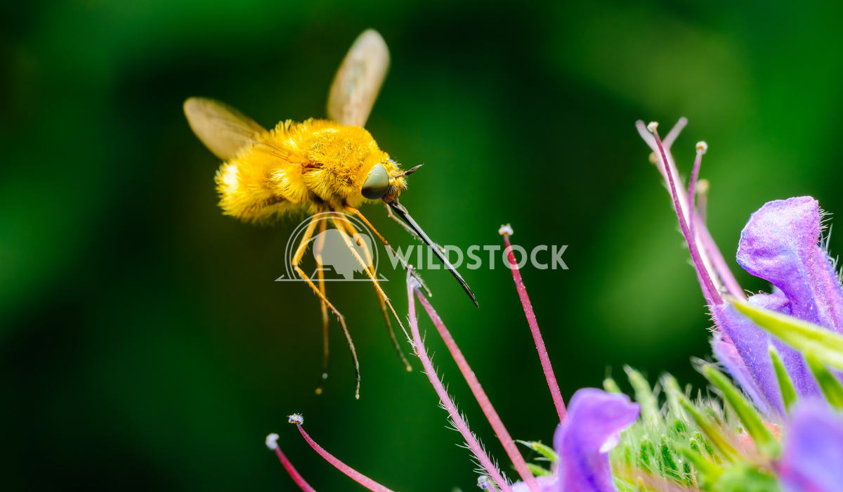 The Large Bee-Fly (Bombylius Major) Gathers Flower Pollen Radu Bercan The Large Bee-Fly (Bombylius Major) Gathers Flower