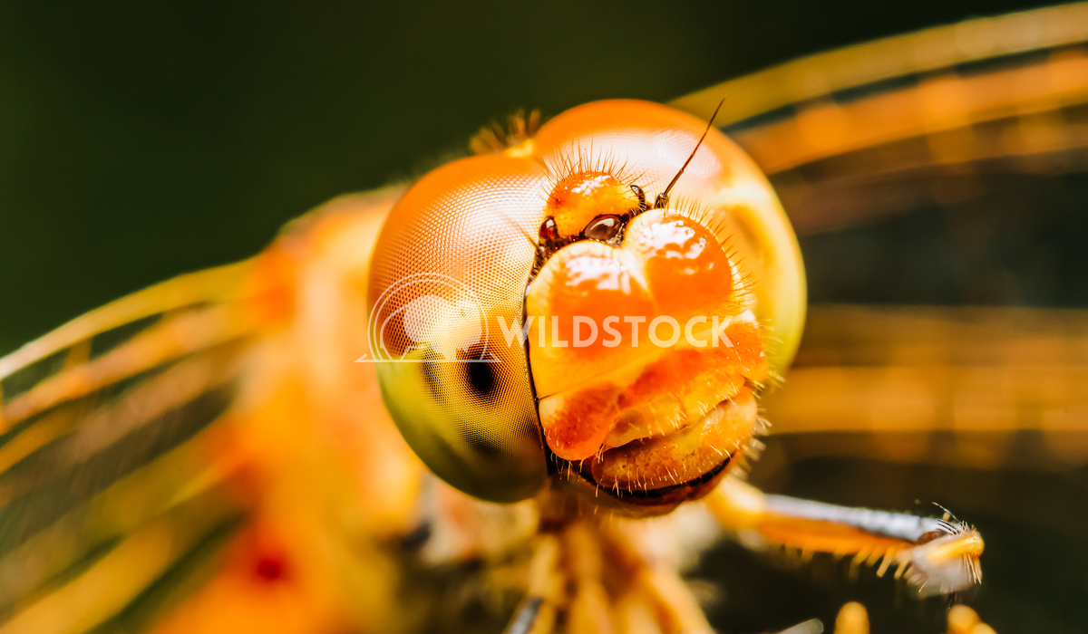 Macro Photo Of A Dragonfly Radu Bercan Extreme Macro Photo Of A Dragonfly