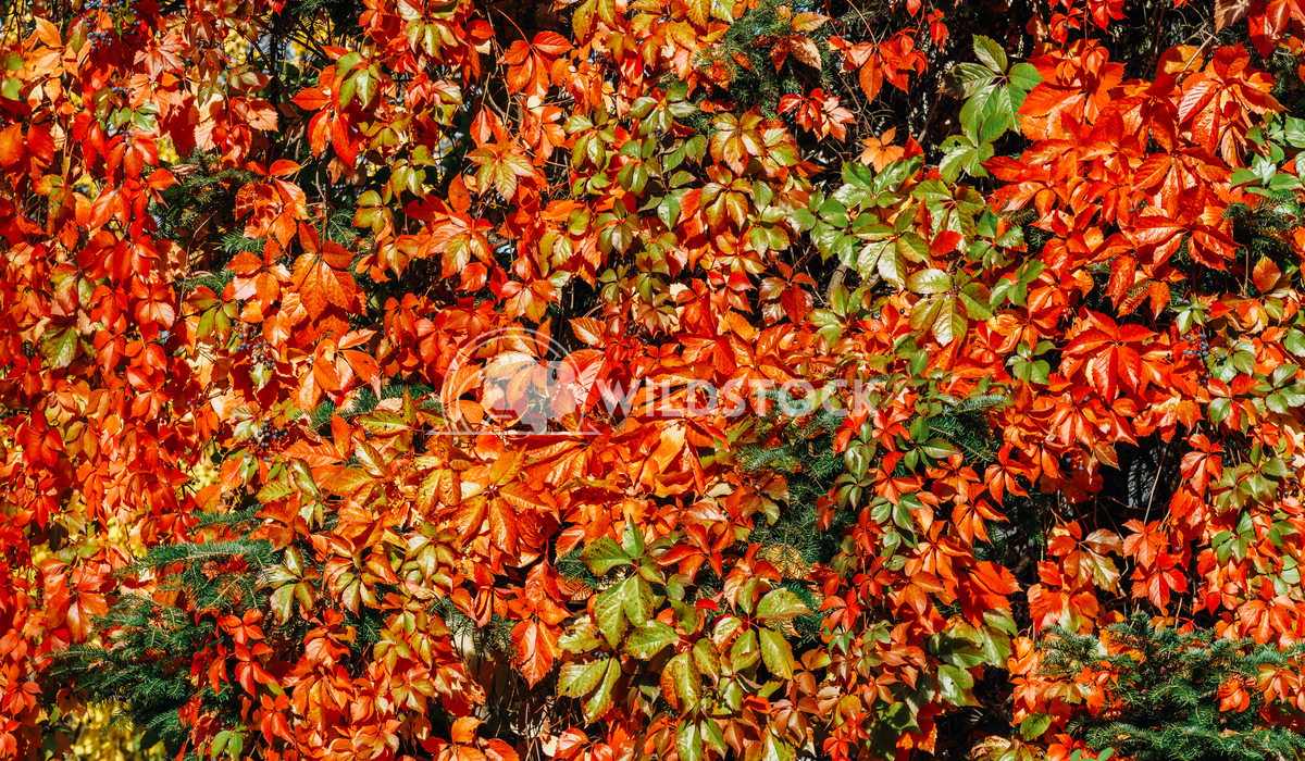 Yellow And Red Leaves On Autumn Sunny Weather Radu Bercan Yellow And Red Leaves On Autumn Sunny Weather