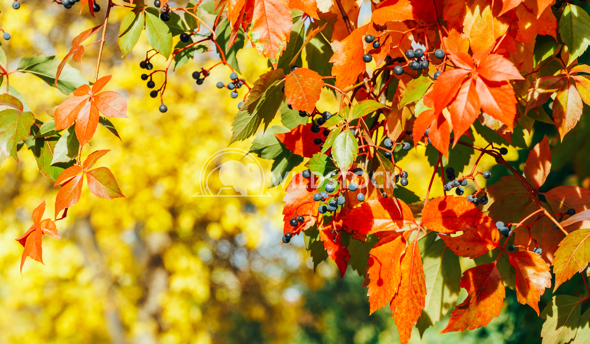Yellow And Red Leaves On Autumn Sunny Day Radu Bercan Yellow And Red Leaves On Autumn Sunny Weather