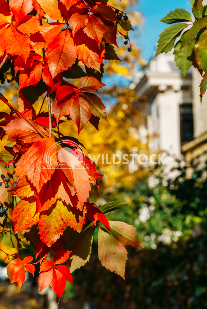 Colorful Yellow And Red Leaves On Autumn Sunny Weather Radu Bercan Yellow And Red Leaves On Autumn Sunny Weather