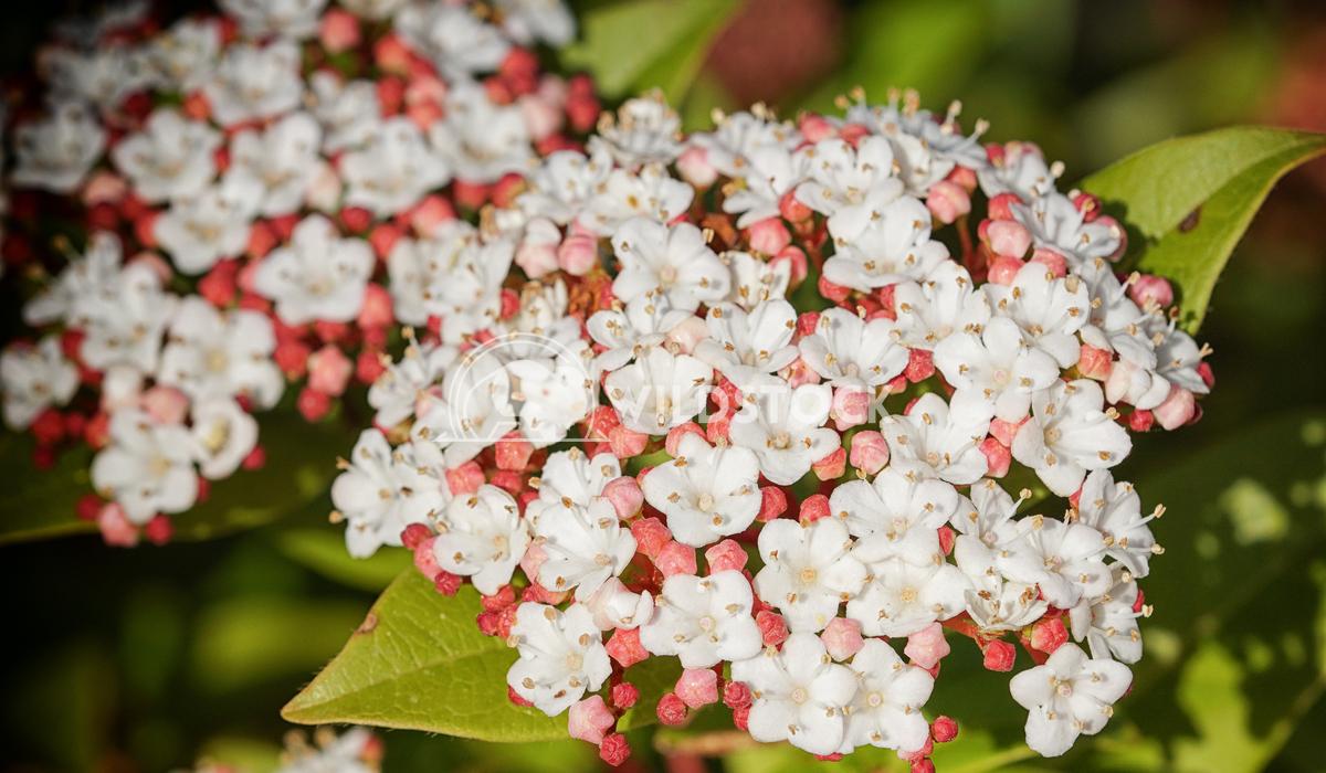 Laurustinus, Viburnum tinus 1 Alexander Ludwig Laurustinus (Viburnum tinus), flowers of gardens