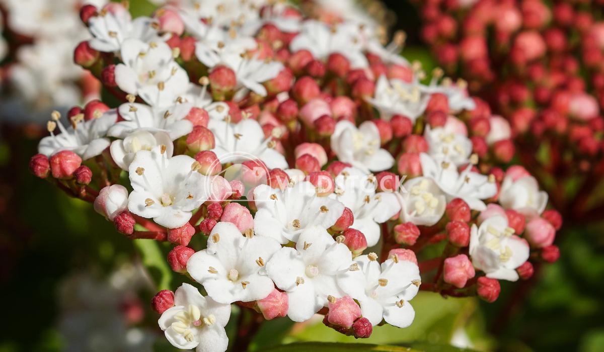 Laurustinus, Viburnum tinus 3 Alexander Ludwig Laurustinus (Viburnum tinus), flowers of gardens