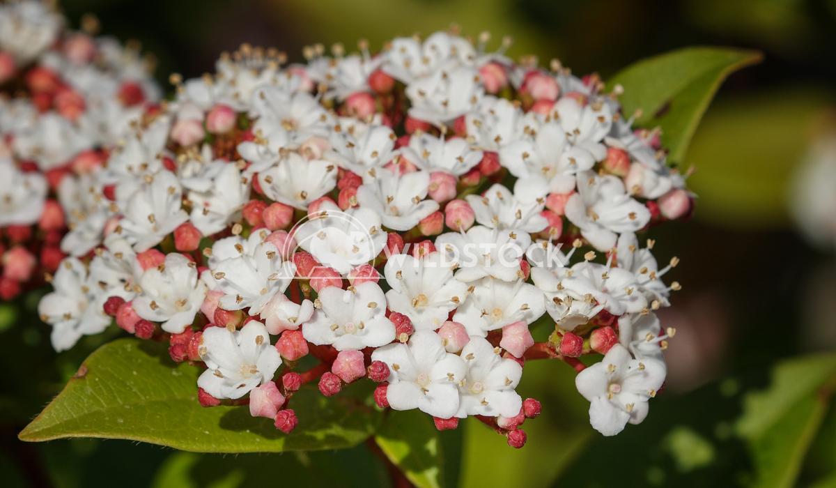 Laurustinus, Viburnum tinus 4 Alexander Ludwig Laurustinus (Viburnum tinus), flowers of gardens