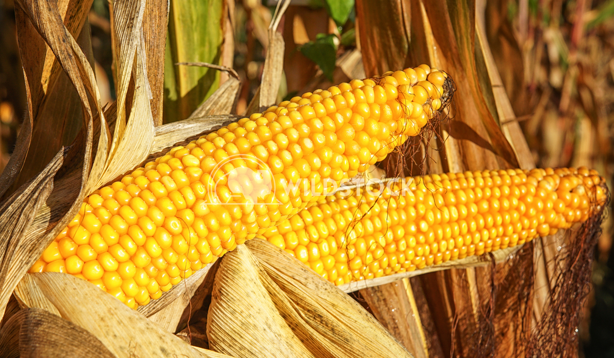 Corncob, Zea mays 4 Alexander Ludwig Corncob, Zea mays, fruits of autumn ready to reap