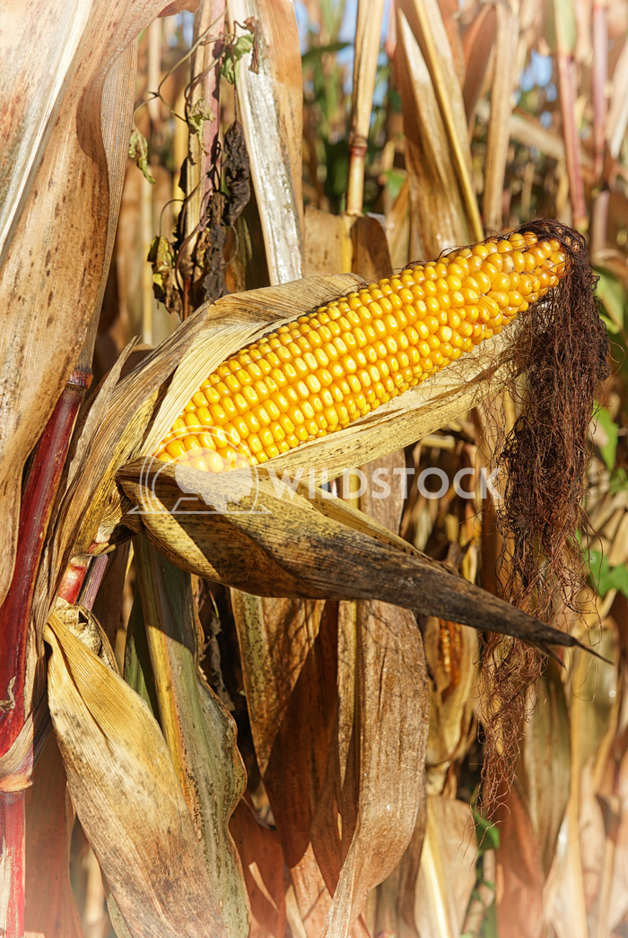 Corncob, Zea mays 6 Alexander Ludwig Corncob, Zea mays, fruits of autumn ready to reap