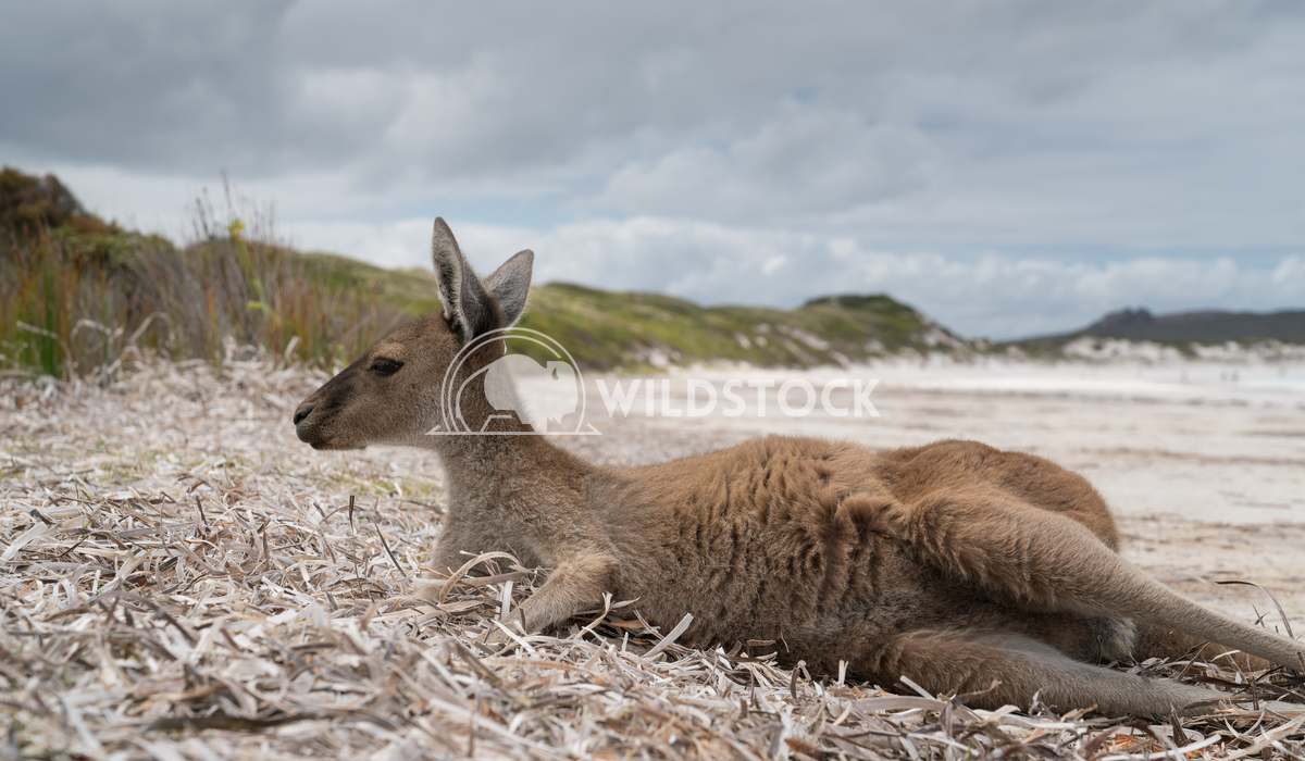 Cape Le Grand National Park, Western Australia 5 Alexander Ludwig Kangaroos on the white beach of Lucky Bay, Cape Le Gra