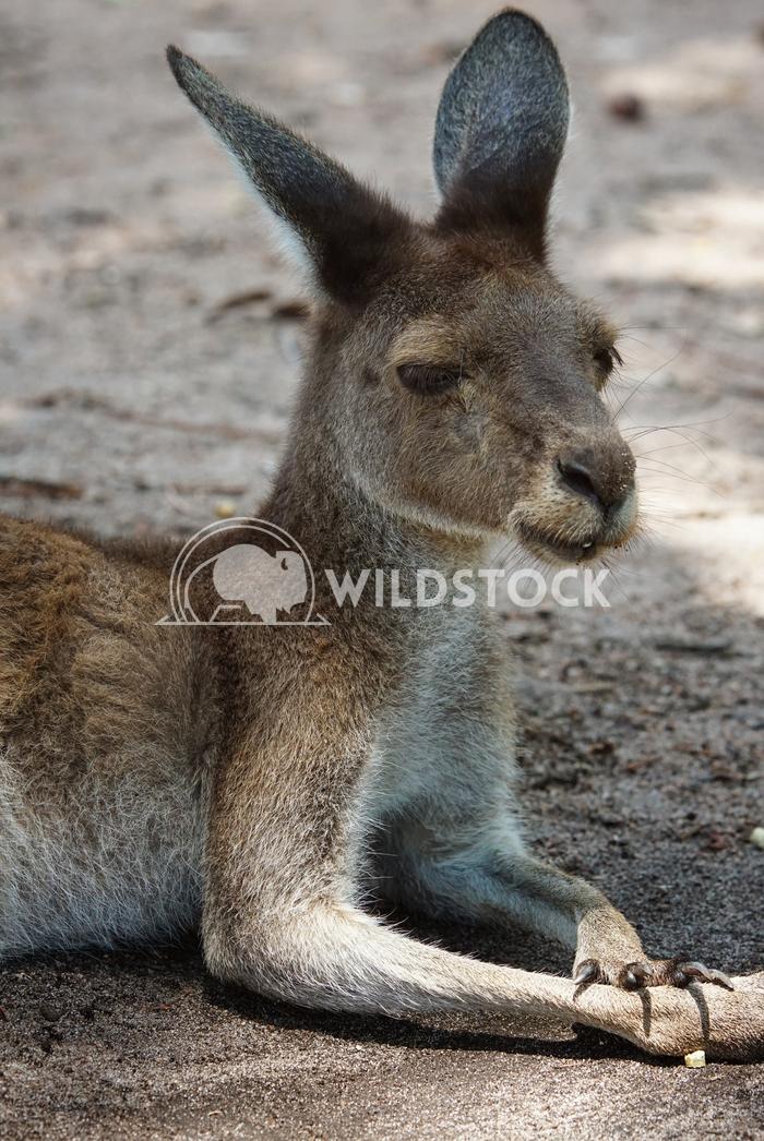 Western Grey Kangaroo, Macropus fuliginosus 1 Alexander Ludwig Western Grey Kangaroo, Macropus fuliginosus, photo was ta
