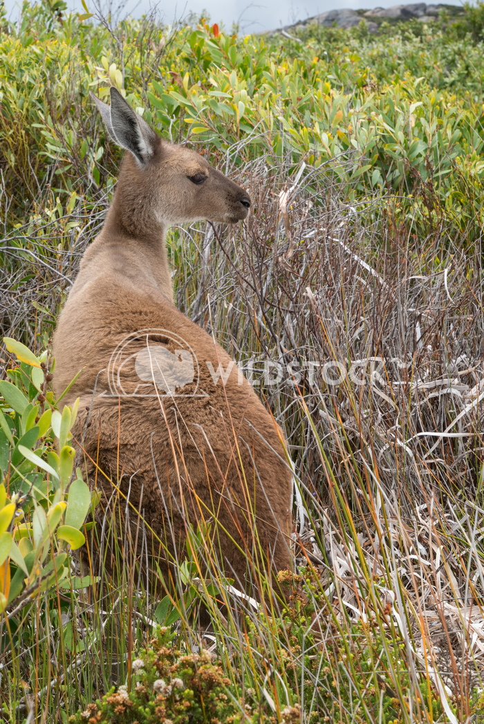 Western Grey Kangaroo, Macropus fuliginosus 2 Alexander Ludwig Western Grey Kangaroo, Macropus fuliginosus, photo was ta