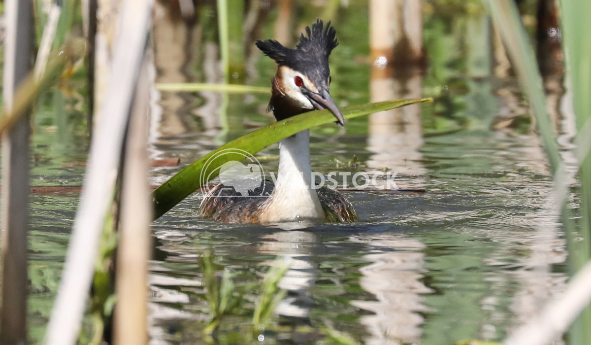 Great Crested Grebe Nesting Jane Hewitt Great Crested Grebe nesting and collecting materials to build best