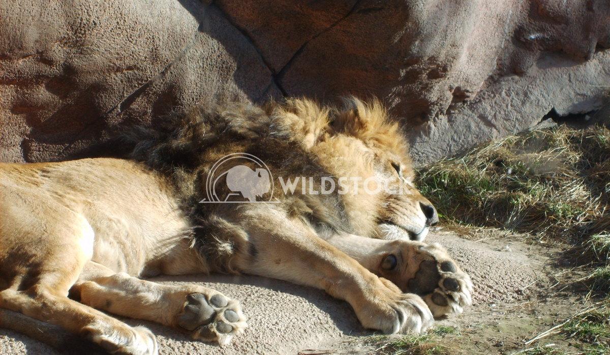 Lion-ing Around Chris Kingdon