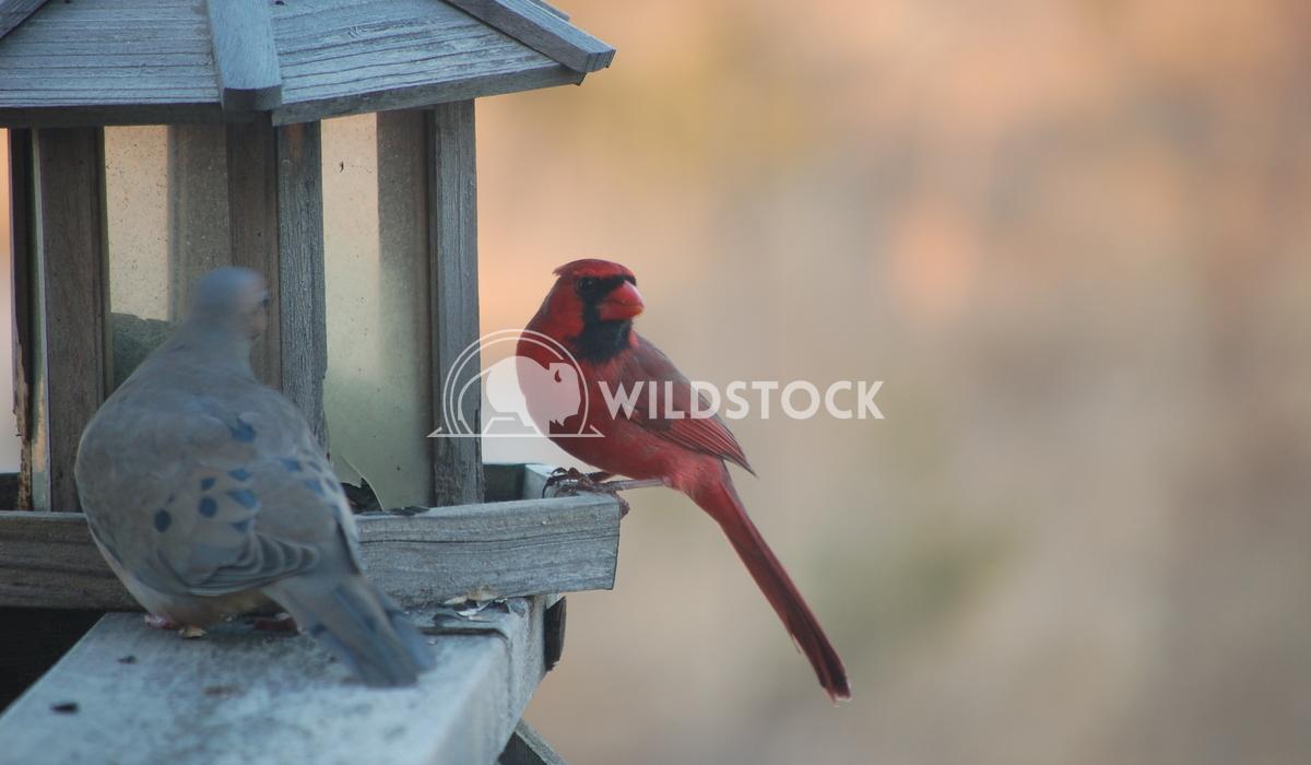 cardinal and mourning dove Chris Kingdon