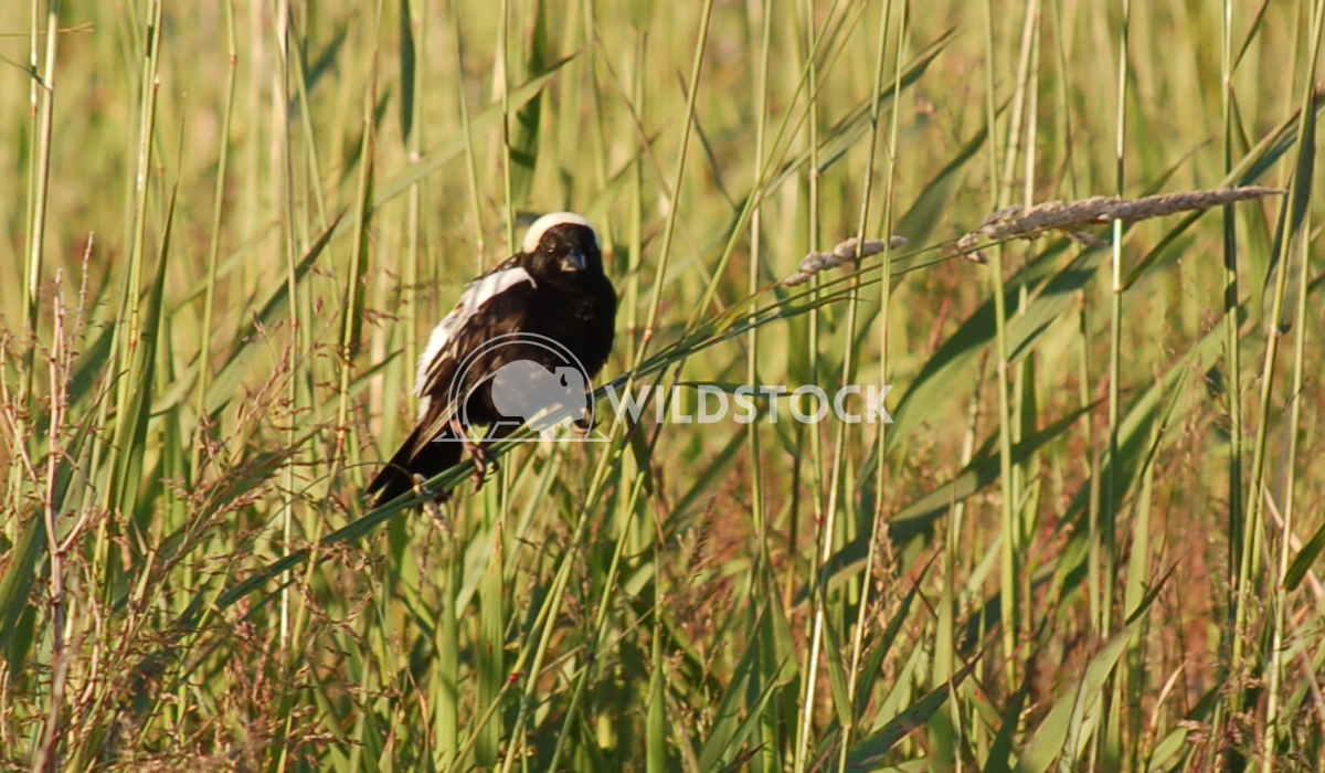 Bobolink Chris Kingdon