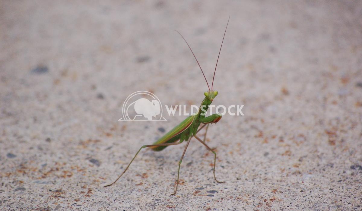 Praying Mantis Chris Kingdon