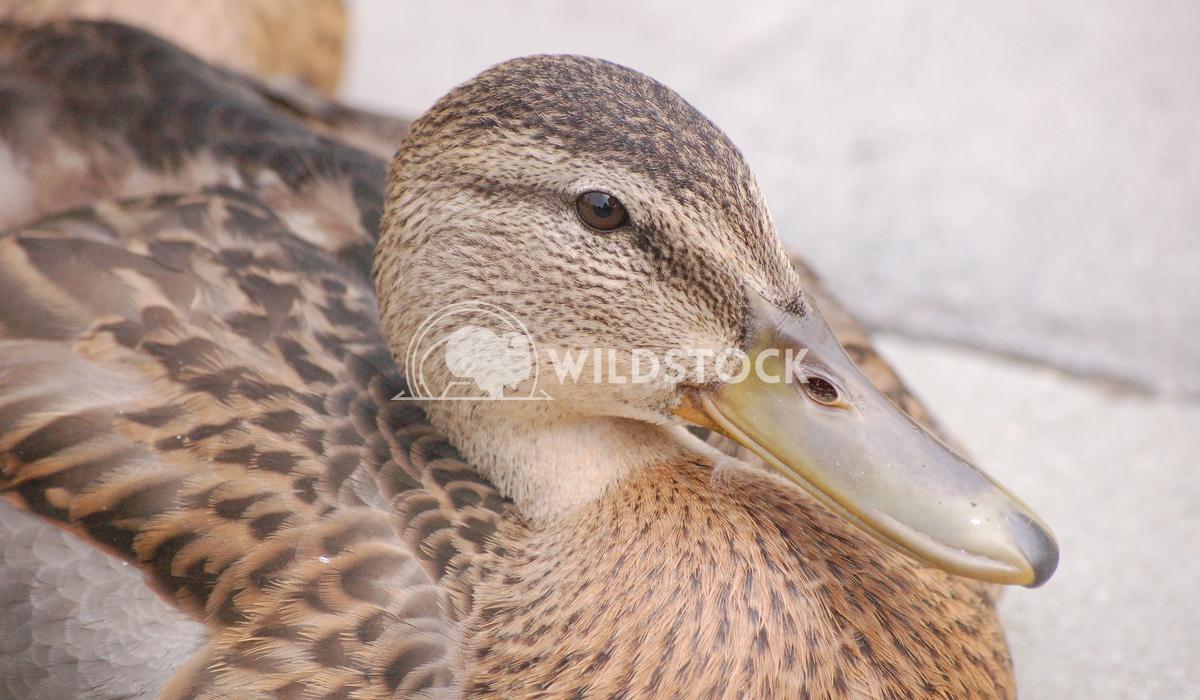 MillPond Duck4 Chris Kingdon
