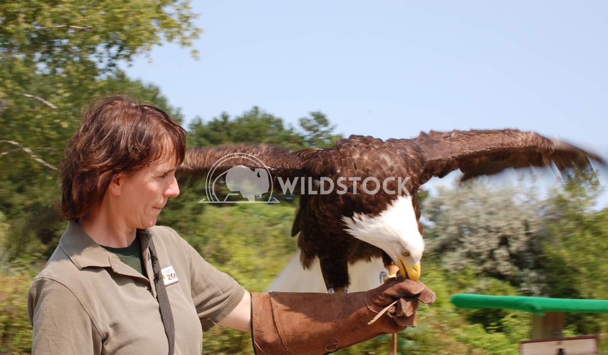 Bald Eagle1 Chris Kingdon