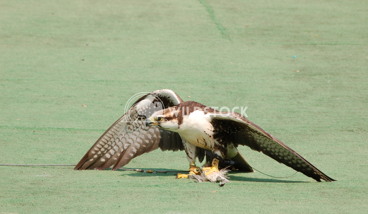 Perigrine Falcon1 Chris Kingdon