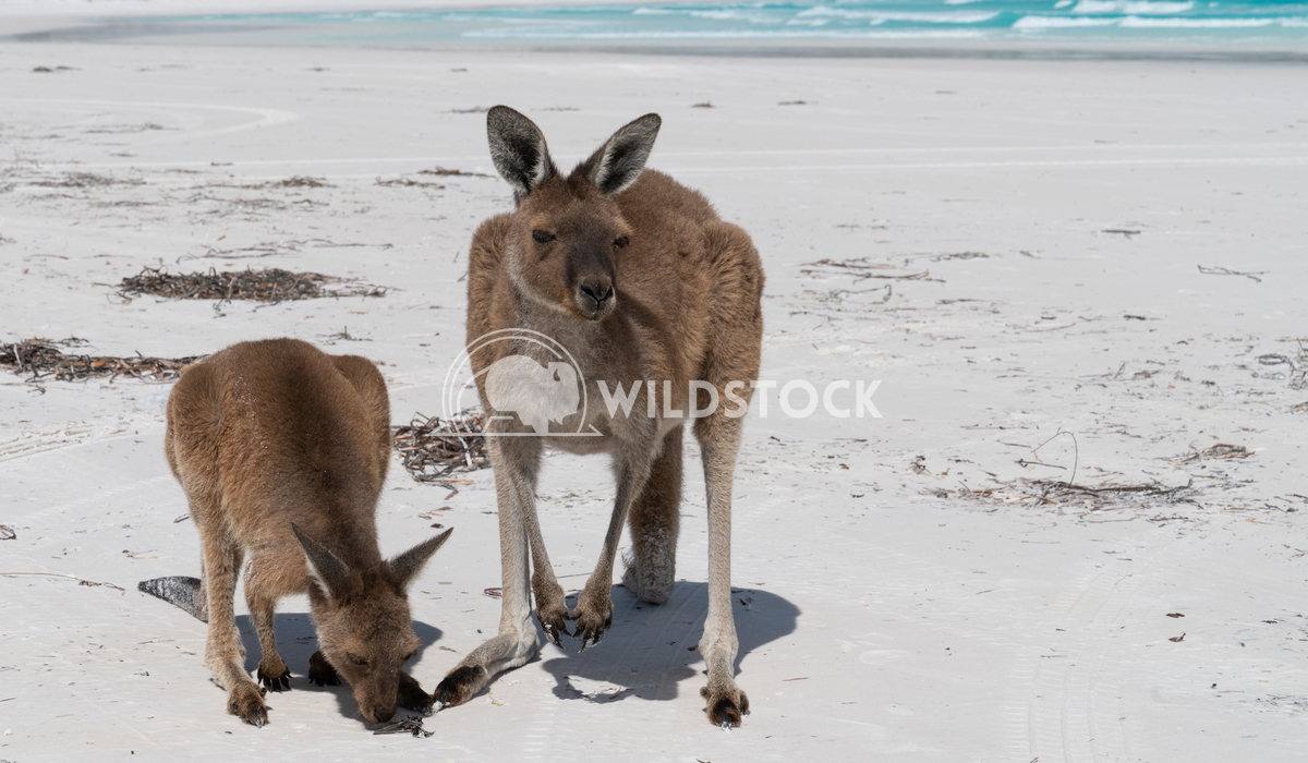 Kangaroos, Cape Le Grand National Park, Western Australia 1 Alexander Ludwig Kangaroos on the white beach of Lucky Bay,