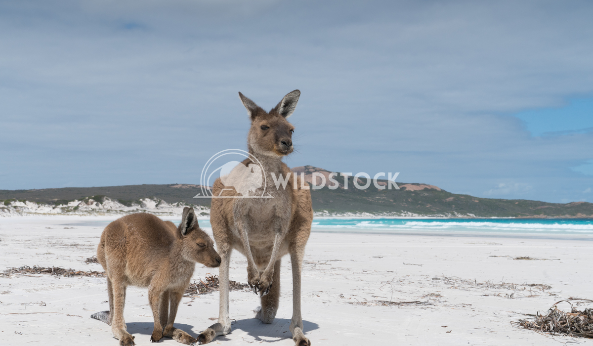 Kangaroos, Cape Le Grand National Park, Western Australia 2 Alexander Ludwig Kangaroos on the white beach of Lucky Bay,