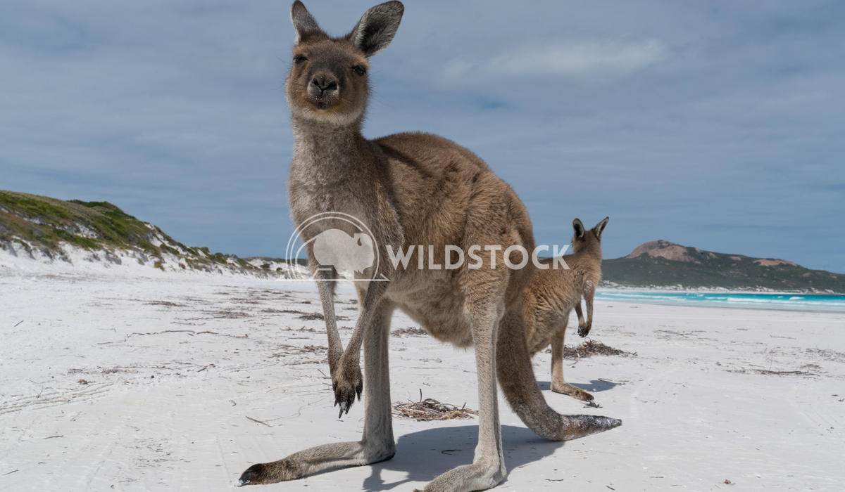 Kangaroos, Cape Le Grand National Park, Western Australia 4 Alexander Ludwig Kangaroos on the white beach of Lucky Bay,