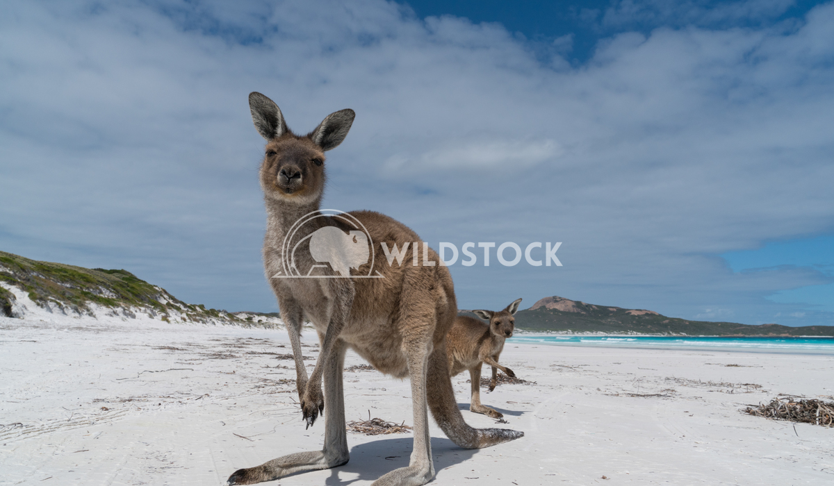 Kangaroos, Cape Le Grand National Park, Western Australia 5 Alexander Ludwig Kangaroos on the white beach of Lucky Bay,