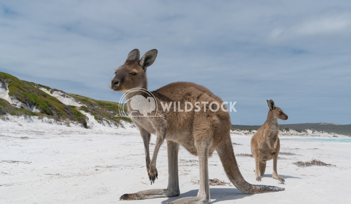 Kangaroos, Cape Le Grand National Park, Western Australia 6 Alexander Ludwig Kangaroos on the white beach of Lucky Bay,