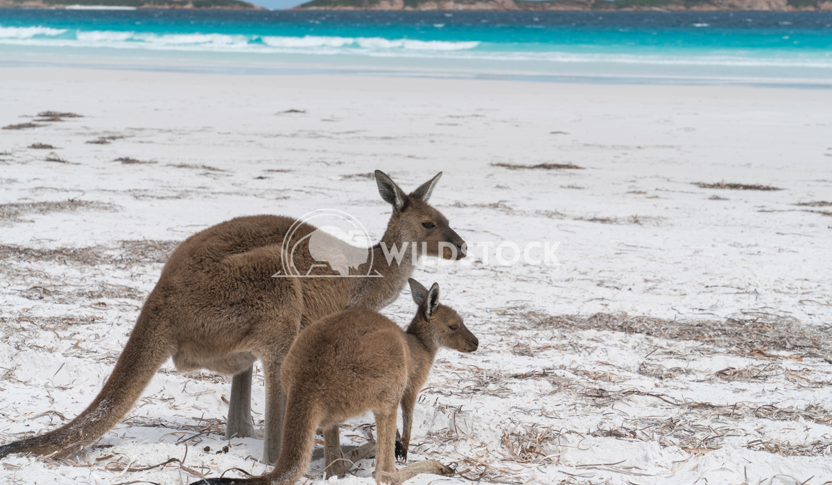 Kangaroos, Cape Le Grand National Park, Western Australia 7 Alexander Ludwig Kangaroos on the white beach of Lucky Bay,