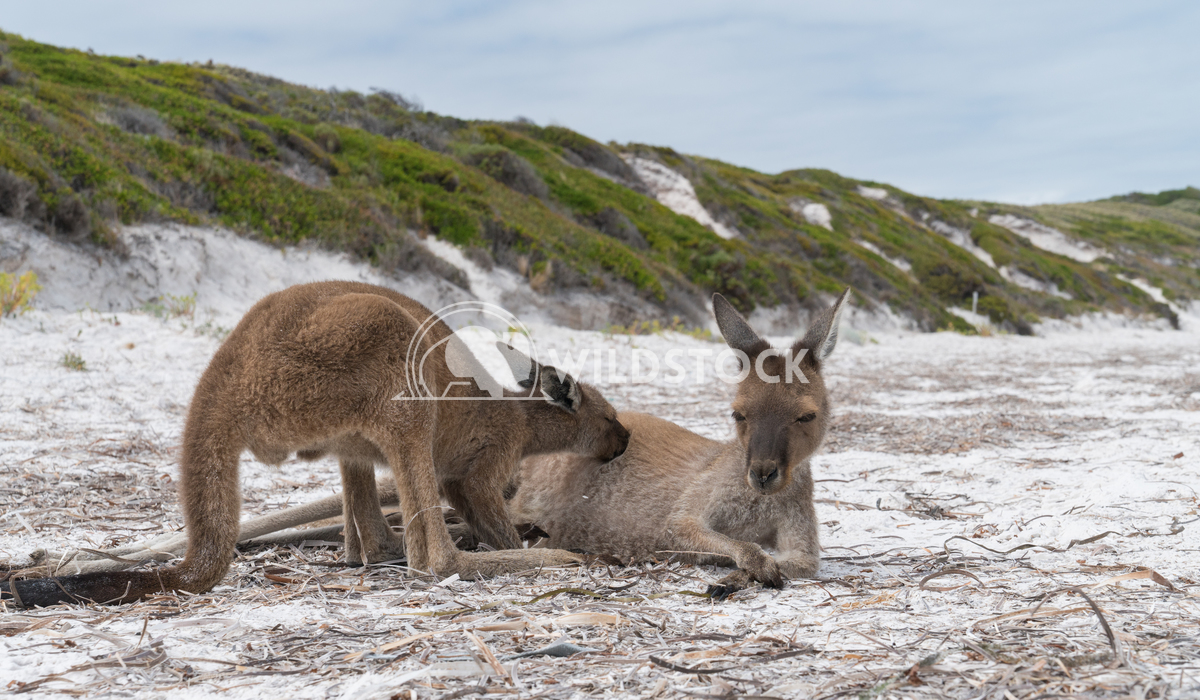 Kangaroos, Cape Le Grand National Park, Western Australia 9 Alexander Ludwig Kangaroos on the white beach of Lucky Bay,