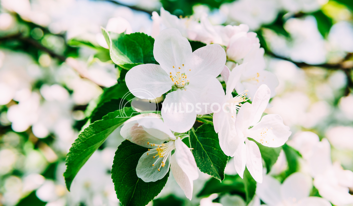 White Apple Tree Flowers In Spring Radu Bercan White Apple Tree Flowers In Spring