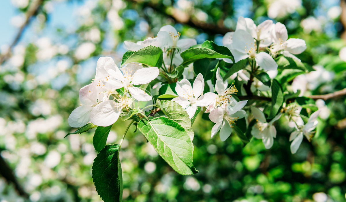 Apple Tree Flowers In Spring Radu Bercan White Apple Tree Flowers In Spring