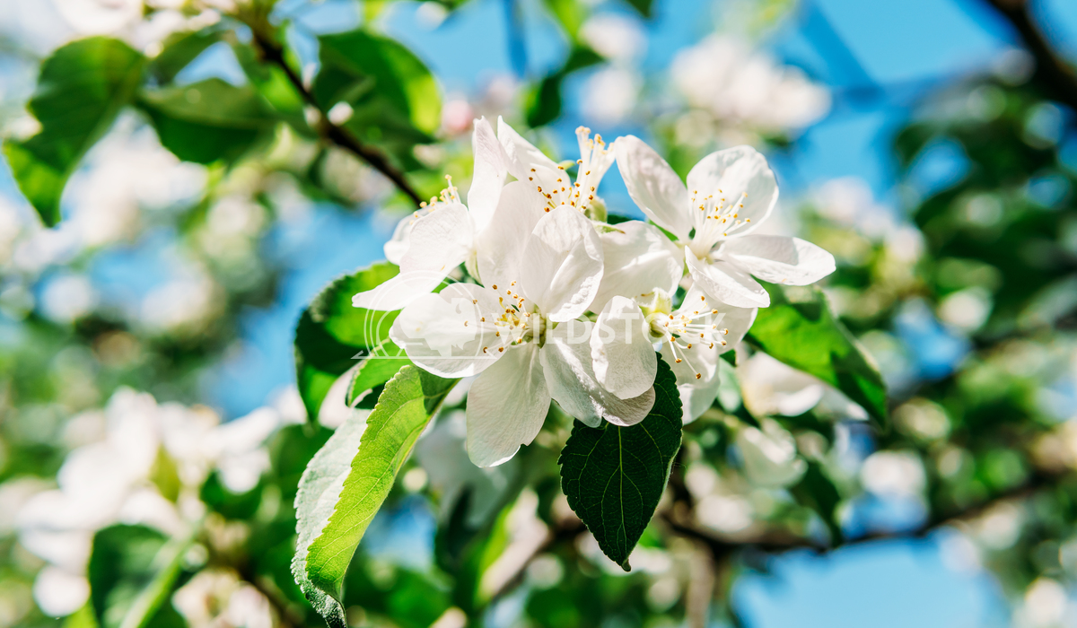 White Apple Tree Flowers Blooming In Spring Radu Bercan White Apple Tree Flowers In Spring