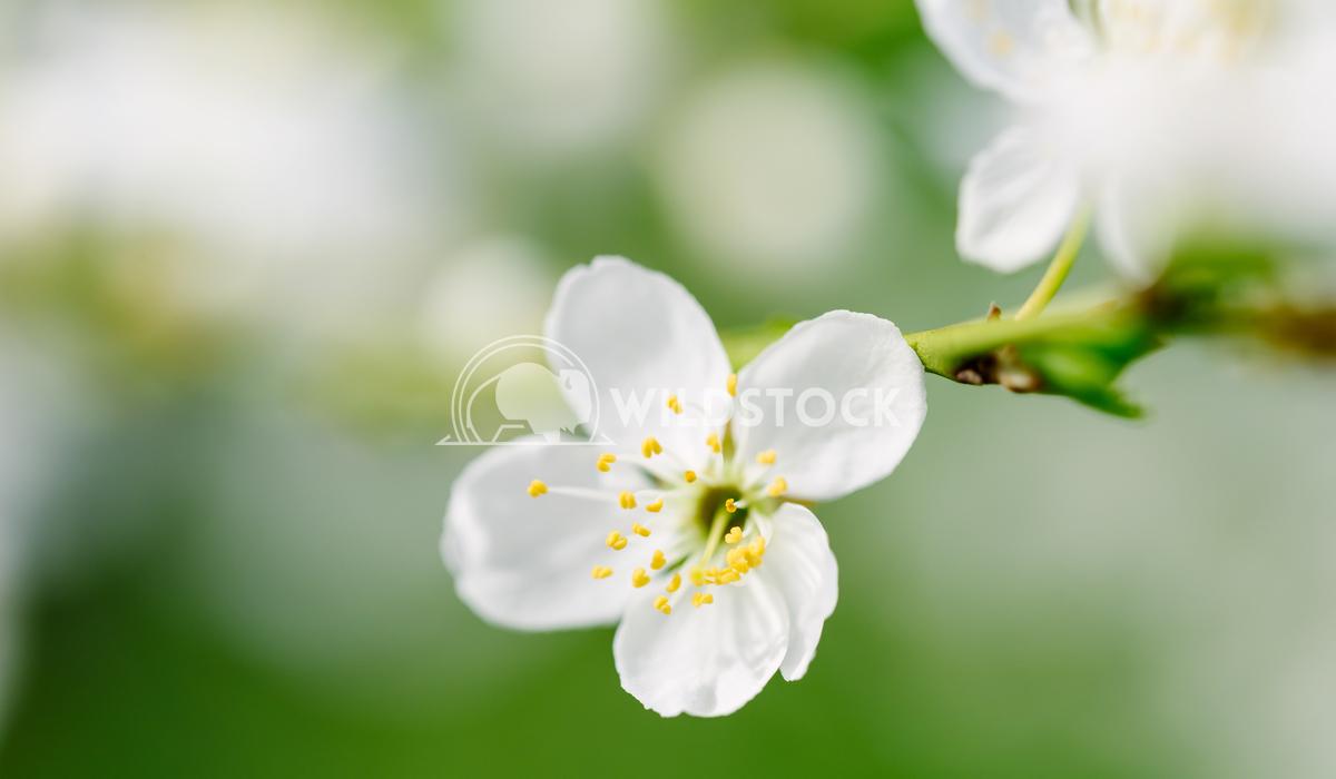 White Plum Tree Flowers In Spring Radu Bercan White Plum Tree Flowers In Spring