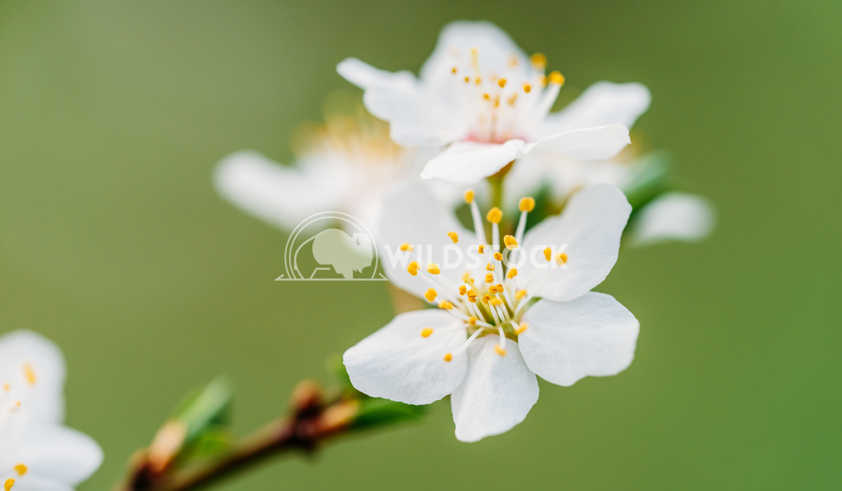 White Plum Tree Spring Flowers Radu Bercan White Plum Tree Flowers In Spring