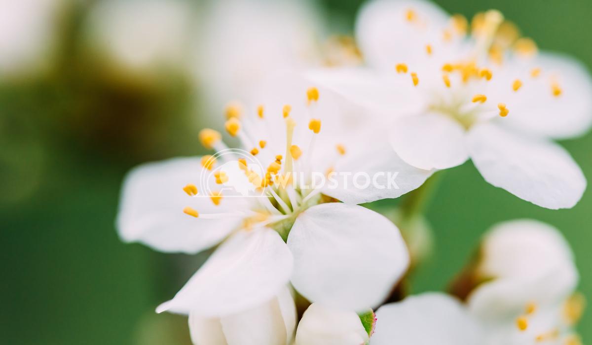White Plum Tree Flowers Blossom In Spring Radu Bercan White Plum Tree Flowers In Spring
