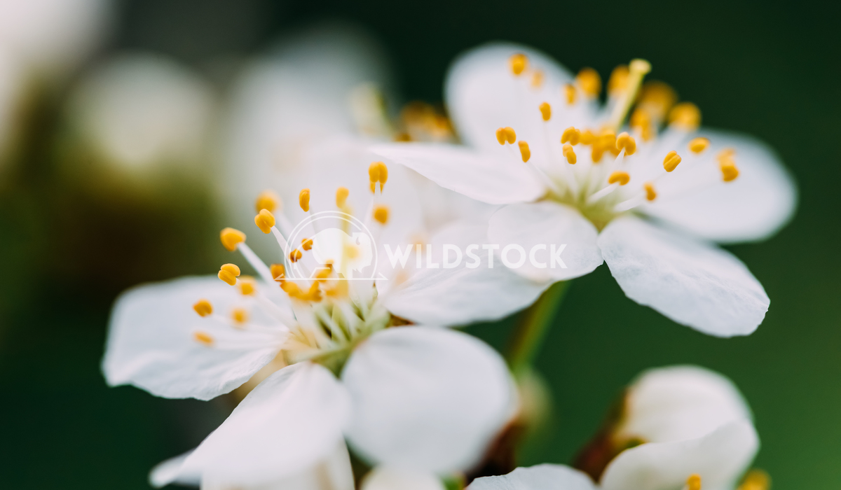 Macro Shot Of White Plum Tree Flowers In Spring Radu Bercan White Plum Tree Flowers In Spring