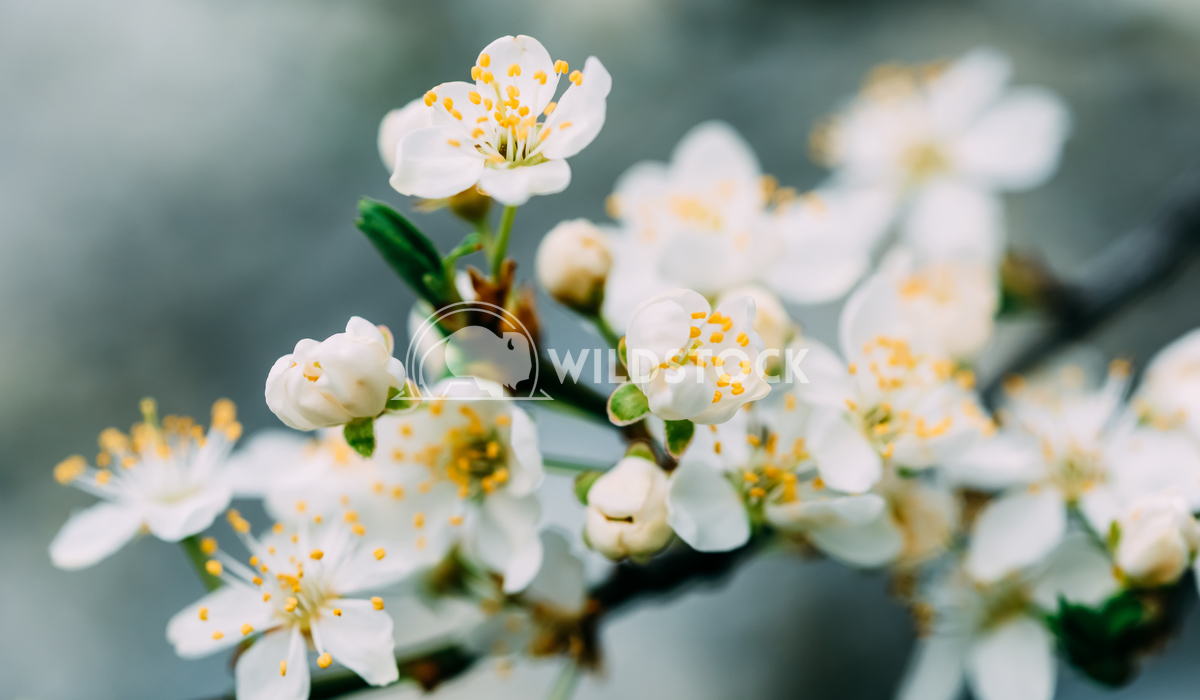 Close-Up Of White Plum Tree Flowers In Spring Radu Bercan White Plum Tree Flowers In Spring
