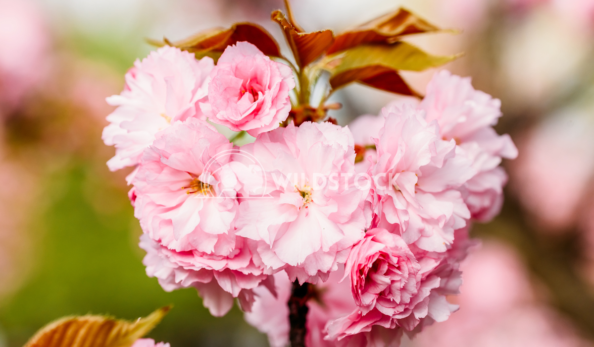 Pink Sakura Cherry Tree Flowers In Spring Radu Bercan Pink Sakura Cherry Tree Flowers Blossom In Spring