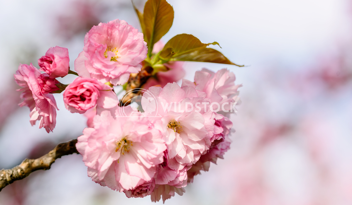 Pink Sakura Cherry Tree Flowers Blooming In Spring Radu Bercan Pink Sakura Cherry Tree Flowers Blossom In Spring