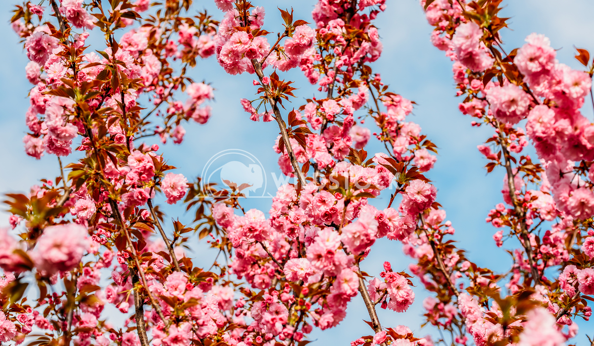 Pink Sakura Cherry Tree Flowers Blossom In Springtime Radu Bercan Pink Sakura Cherry Tree Flowers Blossom In Spring
